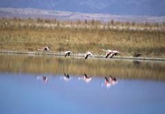 Flock of Chilean Flamingoes (Phoenicopterus chilensis) flying across a lake, Stock Photos