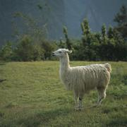 Alpaca standing on a mountain meadow, Inca trail, Peru - stock photo
