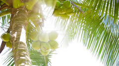 coconuts on top of the palm tree and tropical sun - stock footage