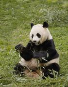 A panda eating leaves Stock Photos