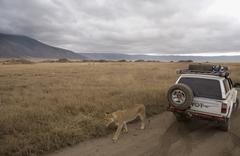 Lioness walking past safari vehicle Stock Photos