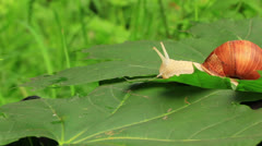 Snail on a green leaf Stock Footage