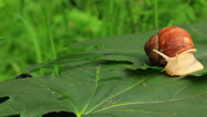 Stock Video Footage of Snail on a green leaf. Real time