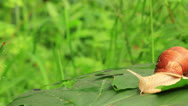 Stock Video Footage of snail slowly creeps on a green leaf. Real time