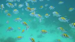 School of Sergeant Major fish Stock Footage