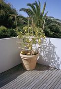 A lemon tree growing on a balcony Stock Photos