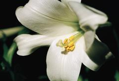 A white hibiscus flower Stock Photos