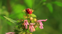 Ladybug on   flower  in spring  . Macro Stock Footage