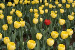 A single red tulip amongst a patch of yellow tulips Stock Photos