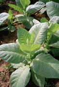 Yksityiskohta tupakkakasvit kasvaa alan Kuvituskuvat
