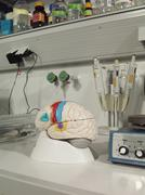 An anatomical model of a human brain in a laboratory Stock Photos