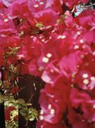 Bougainvillea (Bougainvillea spectabilis) in bloom Stock Photos