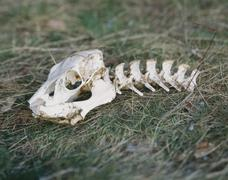 Skull and spine of an animal Stock Photos