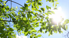 Fresh green leaves in the wind with bright sun and blue sky Stock Footage