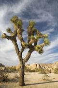 A Joshua Tree in an arid landscape - stock photo