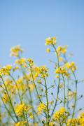 Yellow rapeseed oil (canola) Stock Photos