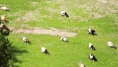 Goats to pasture Stock Footage