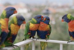 Close-up of five parrots, Rainbow Lorikeet, Trichoglossus haematodus Stock Photos