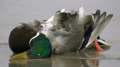 Dead Duck on the Beach - Baltic Sea, Northern Germany Stock Footage