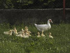 A family of ducks Stock Photos