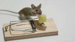 Stock Video Footage of Careless mouse eating cheese in a mouse trap