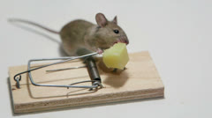 Hungry mouse eating cheese in a mousetrap Stock Footage