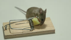 Mouse eating cheese of the trap Stock Footage