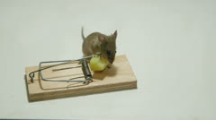 Little house mouse eating cheese of the mousetrap Stock Footage