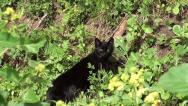 Black cat in grass zoom in Stock Footage