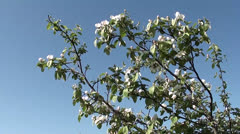Blossomed tree against the blue sky 3 Stock Footage