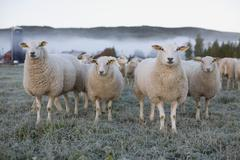 Sheep in a field on an icy morning Stock Photos