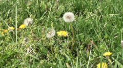 Blowball and yellow dandelions Stock Footage