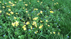 Blue and yellow flowers in grass Stock Footage