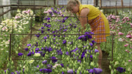 Stock Video Footage of Woman working in a flower greenhouse