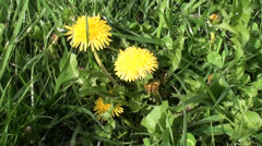 Yellow Dandelions in green grass Stock Footage
