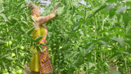 Stock Video Footage of Worker in tomato greenhouse