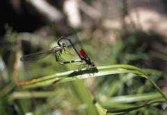 Two Damselflies mating, Zion National Park, Utah, USA Stock Photos