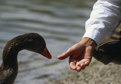 A human hand feeding a Greylag Goose (Anser anser), Almsee, Salzkammergut, Stock Photos