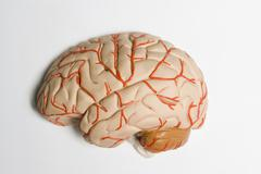 An anatomical model of human brain - stock photo
