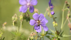 Honey bee collecting pollen and nectar from beautiful purple wild flowers Stock Footage