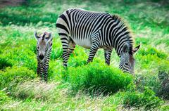 Hartmann's mountain zebra mother and foal Stock Photos