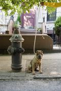 A Shar-Pei on a leash, outdoors Stock Photos