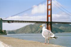 A seagull sitting on a wall in front of the Golden Gate Brigde Stock Photos