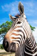 A Grevy's zebra portrait - stock photo