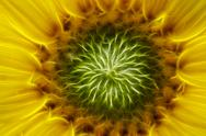 Stock Photo of bloom of the sunflower