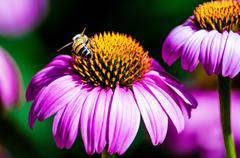 Coneflower (Echinacea) and bee - stock photo