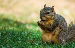A squirrel is eating in the park Stock Photos