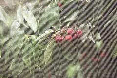 Cherries growing on a tree behind netting Stock Photos