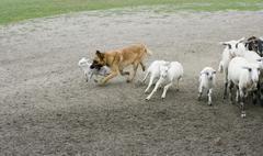 Mixed-Breed Sheepdog, herding sheep Stock Photos