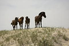 Four wild Banker Ponies standing on a sand dune, Outer Banks, North Carolina Stock Photos